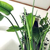 シンボルツリー/癒し/植物のある暮らし/観葉植物/ジャングル化計画...などのインテリア実例 - 2021-05-16 19:59:58