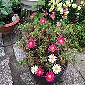 ビオラ/マーガレット/お花のある暮らし/ガーデニング/ピンクの花...などのインテリア実例 - 2021-04-15 13:40:55