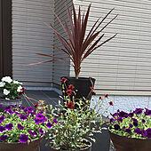 花のある暮らし/ガーデン雑貨/ペチュニア/北向き玄関/植物のある暮らし...などのインテリア実例 - 2021-06-21 21:53:34