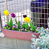 チューリップ/花のある暮らし/花から元気もらう/ビオラ♡/癒し...などのインテリア実例 - 2020-04-05 19:54:19