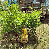 スモークツリー/ロハピ/アースガーデン/害虫対策/植物のある暮らし...などのインテリア実例 - 2021-05-09 18:54:15