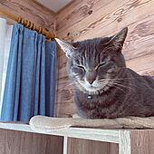 猫のいる生活/保護猫/猫のいる暮らし/木目調壁紙/カーテン...などのインテリア実例 - 2021-04-20 11:35:36