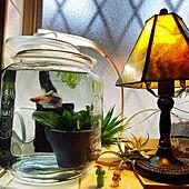 ベタ飼ってます/ランプの灯り/ランプ照明/ステンドグラスランプ/ダイソー...などのインテリア実例 - 2021-04-18 14:42:17