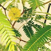 リビング/植物のある暮らし/観葉植物/ガーデニング/植木鉢...などのインテリア実例 - 2021-10-16 10:36:53