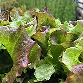 食育/美味しい/簡単/野菜/家庭菜園...などのインテリア実例 - 2021-05-06 19:22:47