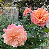 ピンク/花のある暮らし/薔薇/オレンジ/玄関/入り口のインテリア実例 - 2020-11-21 08:56:37