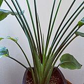 ベッド周り/カメラマーク消し/観葉植物のある暮らし/オーガスタストレリチア/新芽成長中...などのインテリア実例 - 2020-04-02 12:33:18