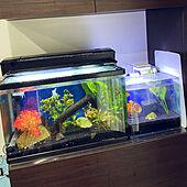 アクアリウム 熱帯魚/金魚水槽/熱帯魚/アクアリウム/水槽...などのインテリア実例 - 2020-10-09 15:14:26