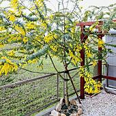 にわ/庭/ミモザ/銀葉アカシア/ミモザの木...などのインテリア実例 - 2021-02-28 16:23:46