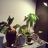 1人暮らし/モンステラ/セローム/パキラ/観葉植物...などのインテリア実例 - 2021-04-19 16:05:42