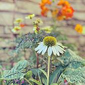 コスモス/寄せ植え/エキナセア/コッツウォルズ風/お花...などのインテリア実例 - 2021-09-24 07:52:54