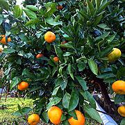 フルーツ大好き♥️/収穫したら頂きます✨/Overview…などのインテリア実例