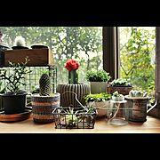 出窓/エアプランツ/ユーフォルビア/サボテン/My Shelf…などのインテリア実例
