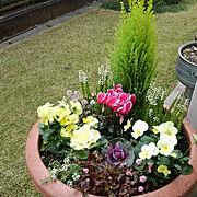 カインズ/庭/花のある暮らし/アリッサム/いいね♪いつもありがとうございます❤️/フォロワーさんに感謝♥…などのインテリア実例