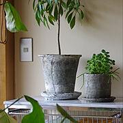 観葉植物/グリーンのある暮らし/カポック/アロマティカス/リプサリス/モスポット…などのインテリア実例