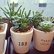 虹の玉♡/若緑/多肉植物/寄せ植え/セリア/Overview…などのインテリア実例