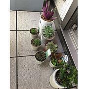 ベンジャミンバロック/ムラサキオモト/グリーンのある暮らし/観葉植物/観葉植物のある暮らし…などのインテリア実例