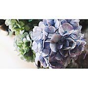 紫陽花/NO GREEN NO LIFE/flower…などのインテリア実例