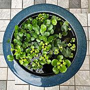 レトロ/火鉢/ほてい草/ウォーターマッシュルーム/睡蓮/Entrance…などのインテリア実例