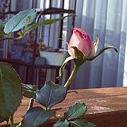 癒し/植物からの癒し/ウッドデッキDIY /植物のある暮らし/花のある暮らし/コメントお気遣いなく(⁎ᴗ͈ˬᴗ͈⁎)…などのインテリア実例