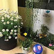 窓際/寒さ対策/断熱シート/2018.2.13/グリーンネックレス/花かんざし…などのインテリア実例