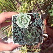 緑牡丹/野薔薇の精/おばさんち/雨ざらし/多肉植物/Entrance…などのインテリア実例