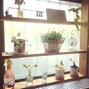 DIY/観葉植物/シュガーバイン/コレチドペンデンス/コレチド/窓辺…などのインテリア実例