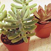 Bathroom/室内グリーン/観葉植物/多肉植物/八千代/花いかだ…などのインテリア実例