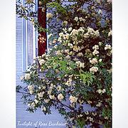 夕暮れ時/壁はキャンバスである/季節を感じる暮らし/花のある暮らし/モッコウバラ…などのインテリア実例