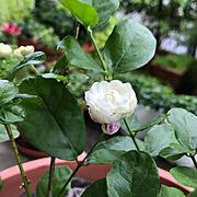 茉莉花/アラビアジャスミン/グリーンのある暮らし/ガーデニング/ジャスミン/八重咲きジャスミン…などのインテリア実例