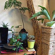 多肉植物/コーデックス/ビカクシダ/器と植物/観葉植物のある生活/観葉植物…などのインテリア実例