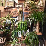 珍奇植物/渋谷園芸/TRANSHIP武蔵小山/ポニーテール/リプサリスエリプティカ/リプサリスラムローサ…などのインテリア実例