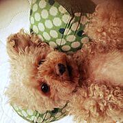 トイプードル/5歳♀/愛犬SALLY/枕/Bedroom…などのインテリア実例