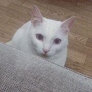 白猫ラブ/白猫/ブログやってます♡/ねこ部/ねこ♡/ねこバカ…などのインテリア実例