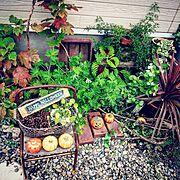 My Shelf/DIY/セリア/100均/観葉植物/松ぼっくり…などのインテリア実例