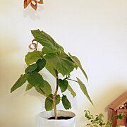 100均/植物/My Shelf…などのインテリア実例