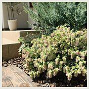ロータスブリムストーン/DIY/お庭/庭/庭作り中/レンガの花壇…などのインテリア実例