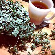 植物/ピレアグラウカ/ファイヤーキングのマグカップ/Bedroom…などのインテリア実例