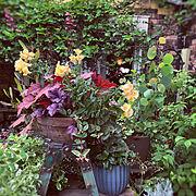 ほぼ多年草/Lounge/デッキガーデン/庭の花*/ヒューケラ/satochan garden*…などのインテリア実例