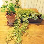 ダイソー/フェイクグリーン/植物パワー/癒し/植物/Kitchen…などのインテリア実例