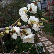 いつもいいね!ありがとうございます♪/梅の花/ガーデニング/ガーデン/花のある暮らし…などのインテリア実例