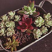 センスなくてすいません/寄せ植え初チャレンジ/ホームセンター大好き/植物…などのインテリア実例