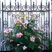 バレリーナ/庭/Gardeningやってます/Blogやってません/インテリアどころか外!…などのインテリア実例