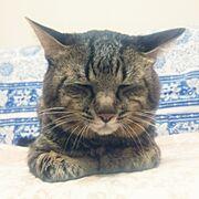 きじとら猫♂/猫のいる生活/Bedroom…などのインテリア実例