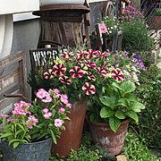 ミルク缶/ジャンクガーデン/ナデシコ/建売住宅/花壇/レトロ…などのインテリア実例