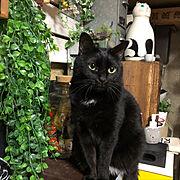フェイクグリーン♡/ダイソー/ぺこる/猫/昭和の家/猫ポット…などのインテリア実例