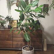 マスターウォール/ウォールナット/賃貸/一人暮らし/フィカス・ベンガレンシス/観葉植物…などのインテリア実例