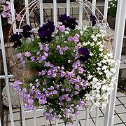 いつもいいね!ありがとうございます♪/ロベリア/八重咲きバコパ/パンジー/寄せ植え…などのインテリア実例