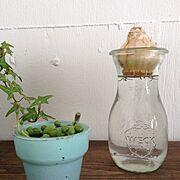 球根/植物/水栽培/WECK/グリーンネックレス/ヒヤシンス…などのインテリア実例