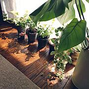 観葉植物/ニトリ/3Coins/ハートカズラ/こどものいる暮らし/みどりのある暮らし…などのインテリア実例